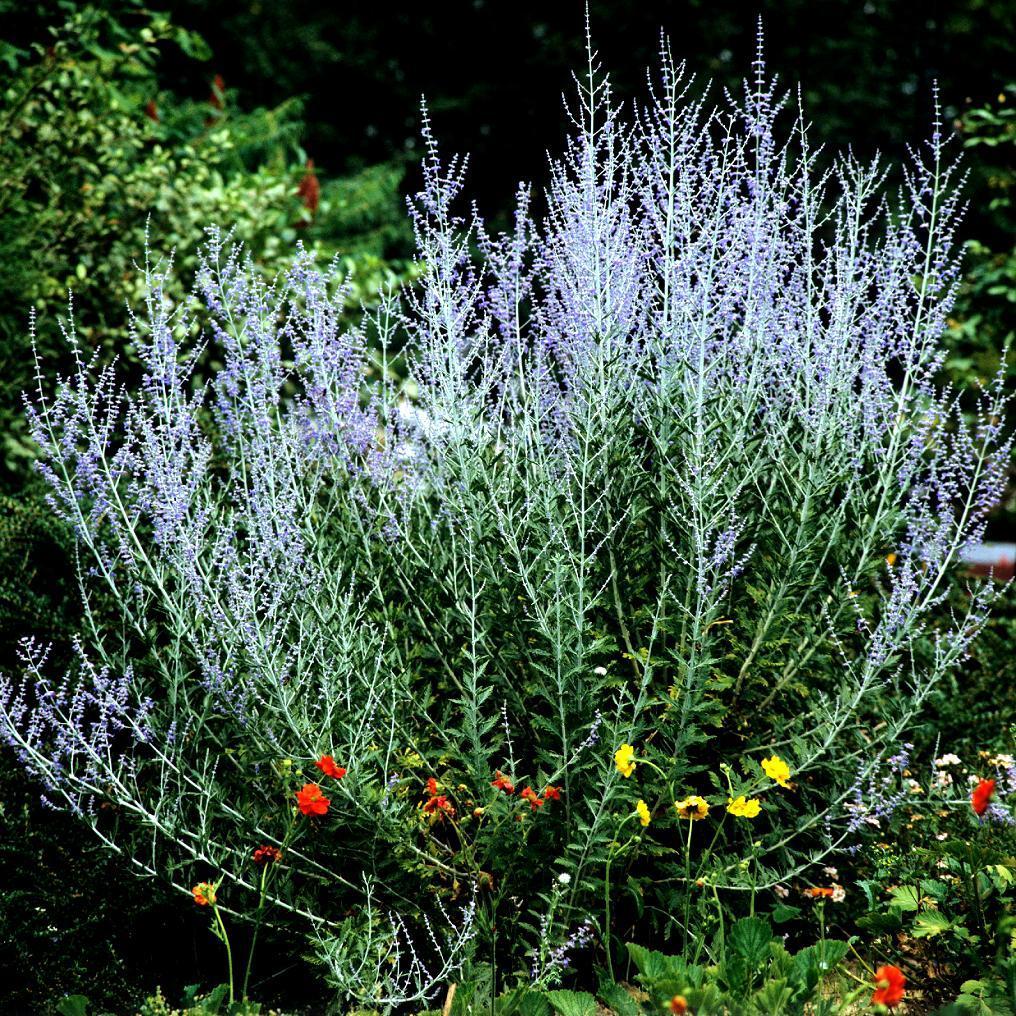 Perovskia atriplicifolia Pérovskia nain Lacey Blue ®