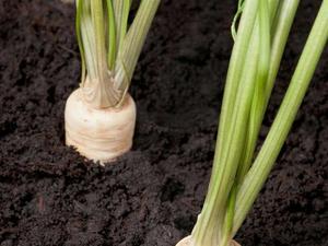 Persil tub reux semer et r colter ooreka - Comment semer du persil ...