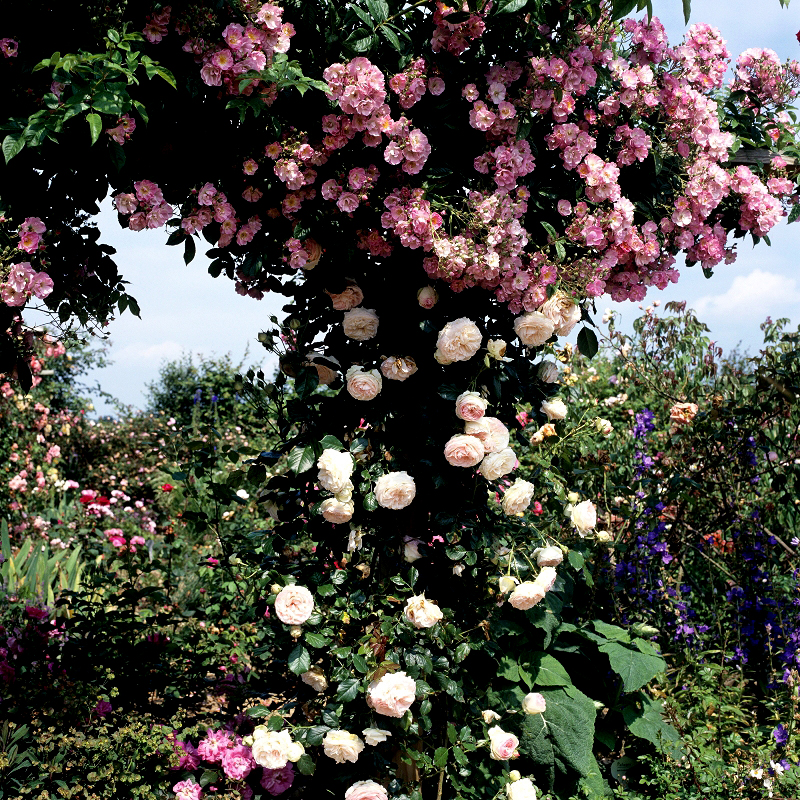 Rosier grimpant planter et tailler ooreka - Taille rosier grimpant ...