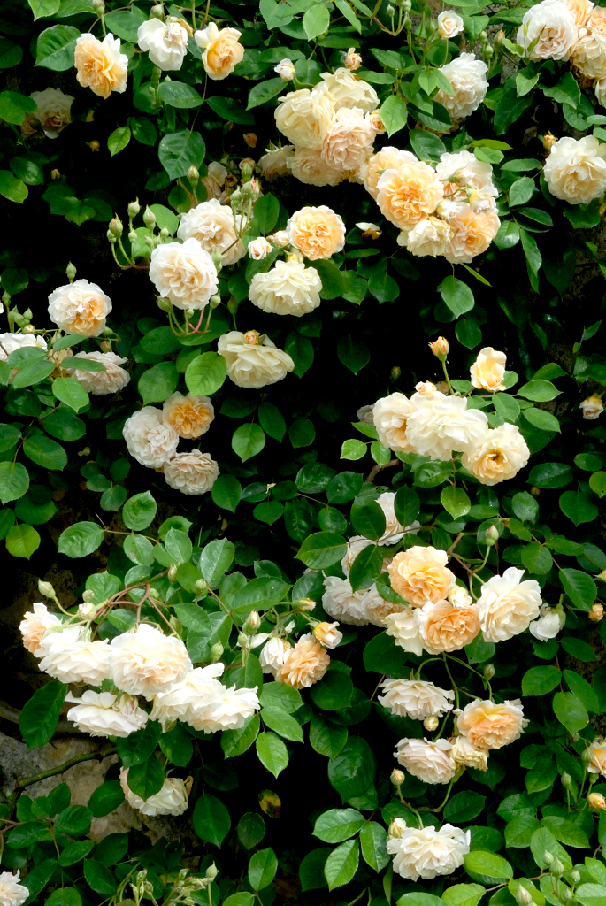 Rosier grimpant planter et tailler ooreka - Feuilles de rosier qui jaunissent ...