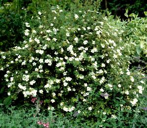 Semis et plantation de la potentille arbustive
