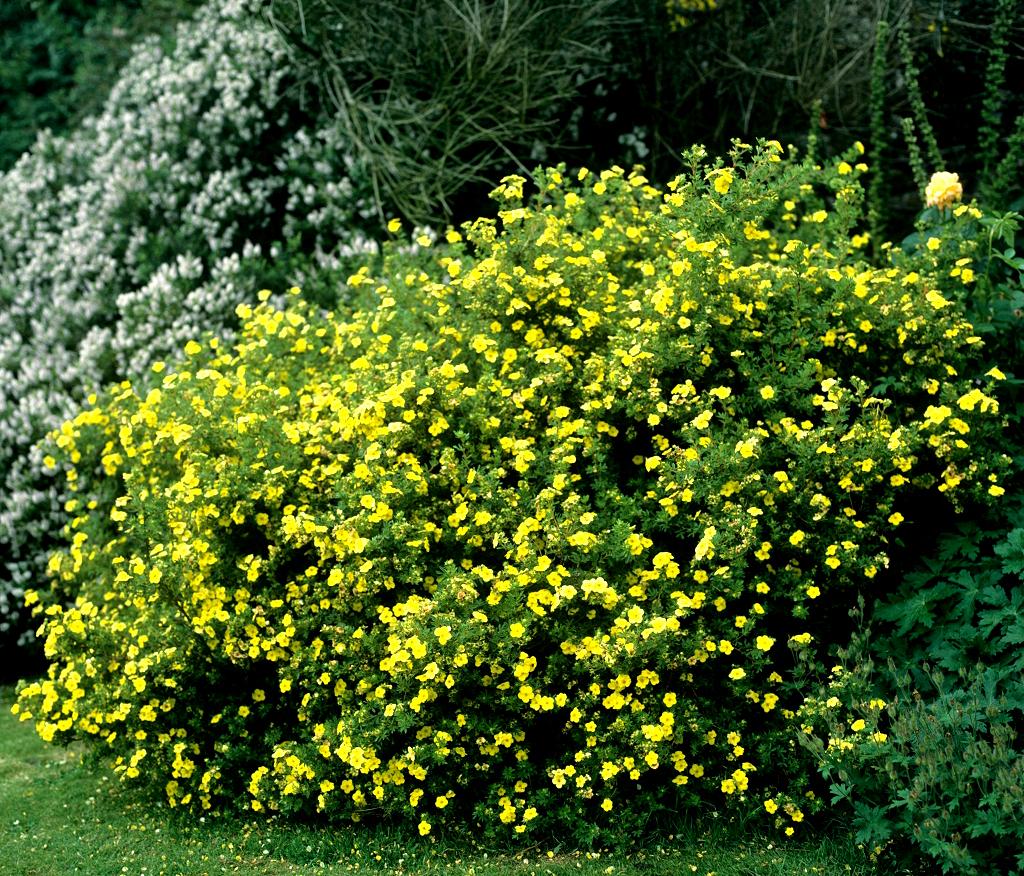 Potentille arbustive planter et tailler ooreka for Plante arbustive fleurie