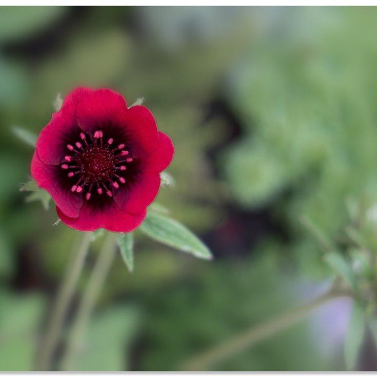 Espèces et variétés naines Potentilla thurberi amorubens 'Monarch's Velvet'