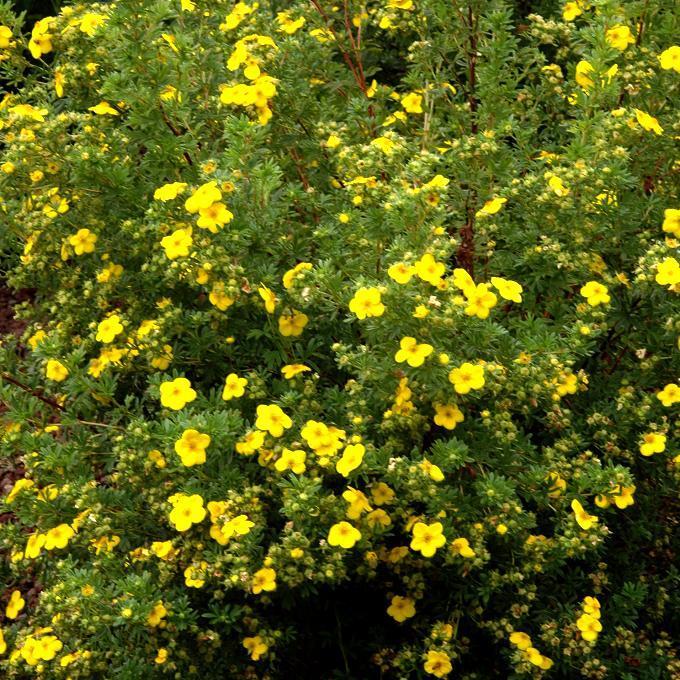 Espèces et variétés de taille moyenne Potentilla fruticosa 'Goldfinger'