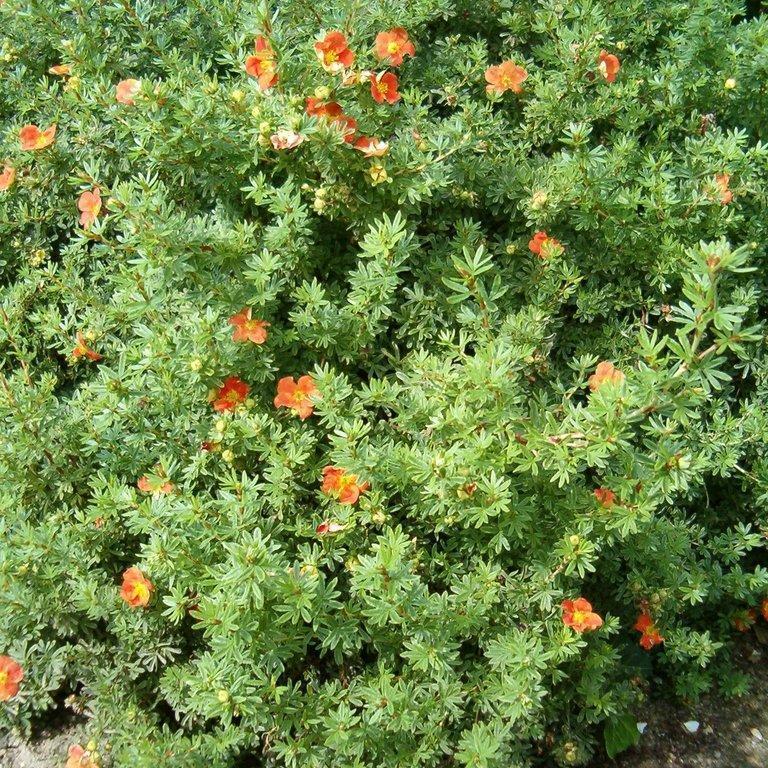 Espèces et variétés de taille moyenne Potentilla fruticosa 'Red Ace'
