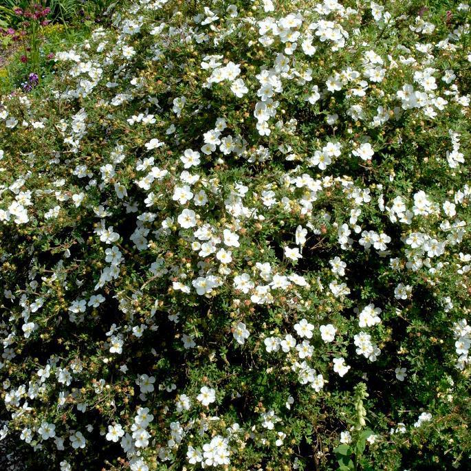 Espèces et variétés de taille moyenne Potentilla fruticosa 'Abbotswood'