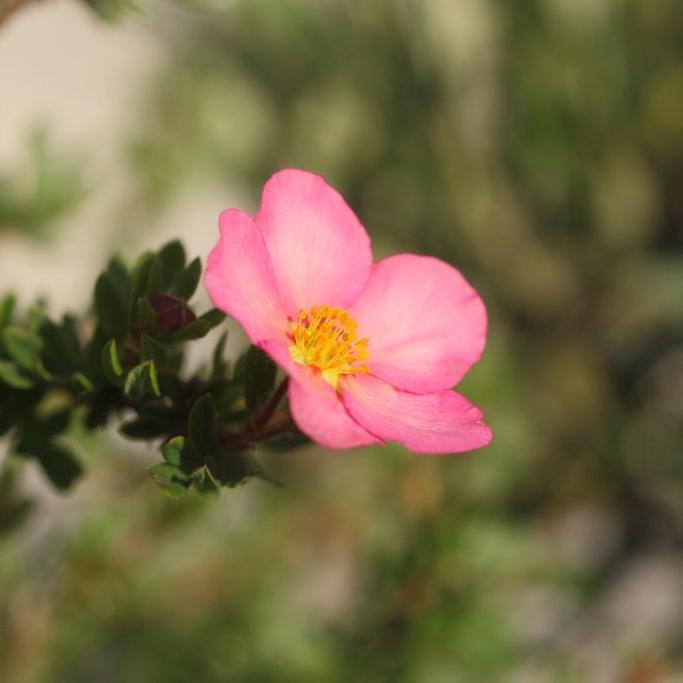 Espèces et variétés de grande taille Potentilla fruticosa 'Lovely Pink®'