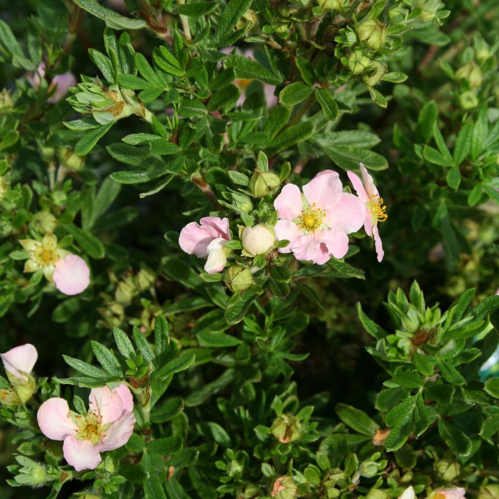 Espèces et variétés de taille moyenne Potentilla fruticosa 'Pink Queen'