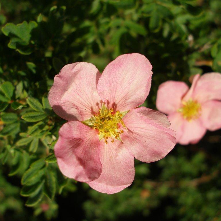 Espèces et variétés de taille moyenne Potentilla fruticosa 'Princess'