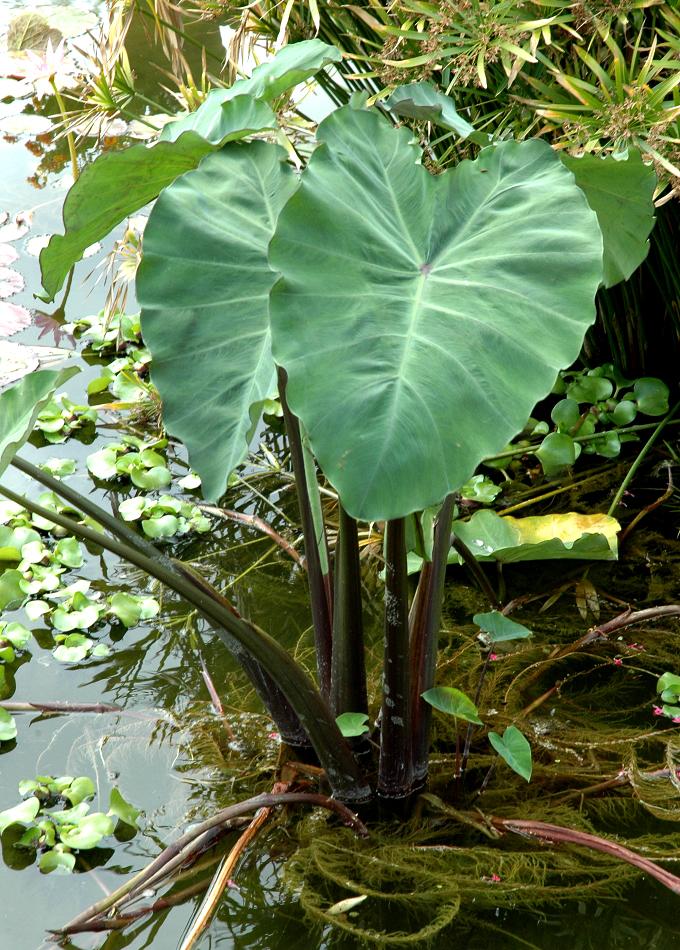 taro   planter et cultiver  u2013 ooreka