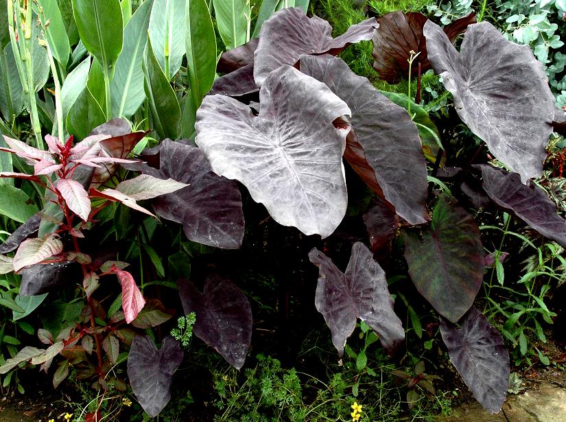 """Résultat de recherche d'images pour """"taro plante d'intérieur"""""""