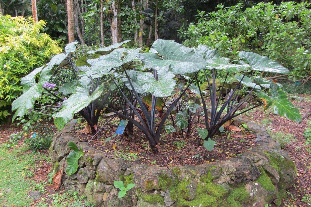 Taro planter et cultiver ooreka for Plante a planter