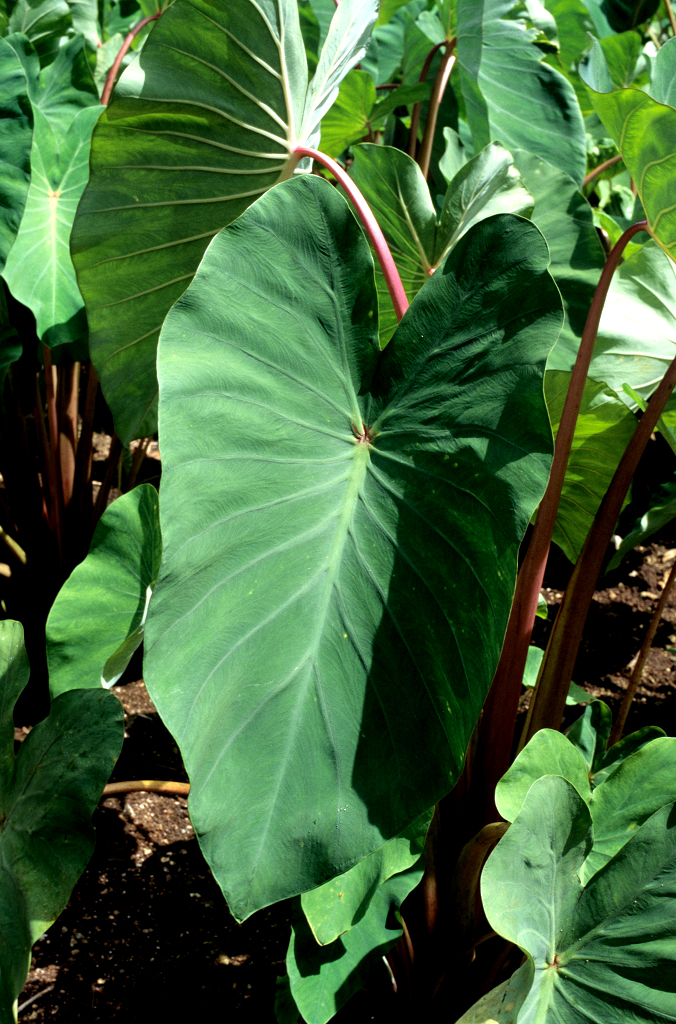 plante aquatique taro
