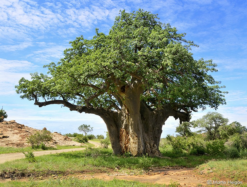 Baobab Planter Et Cultiver Ooreka