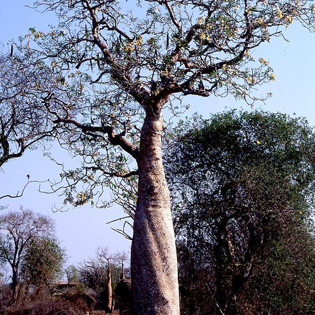Principale espèce diffusée Baobab d'Afrique (Adansonia digitata)