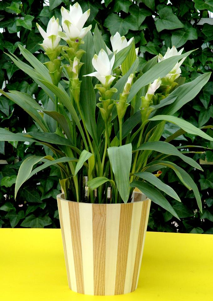 curcuma planter et cultiver ooreka. Black Bedroom Furniture Sets. Home Design Ideas