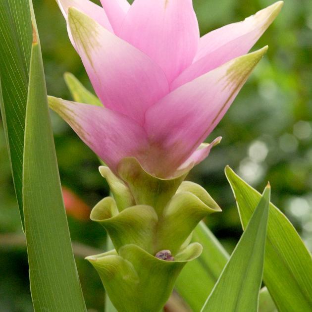Plante ornementale Tulipe de Siam, tulipe thaïlandaise (Curcuma alismatifolia)