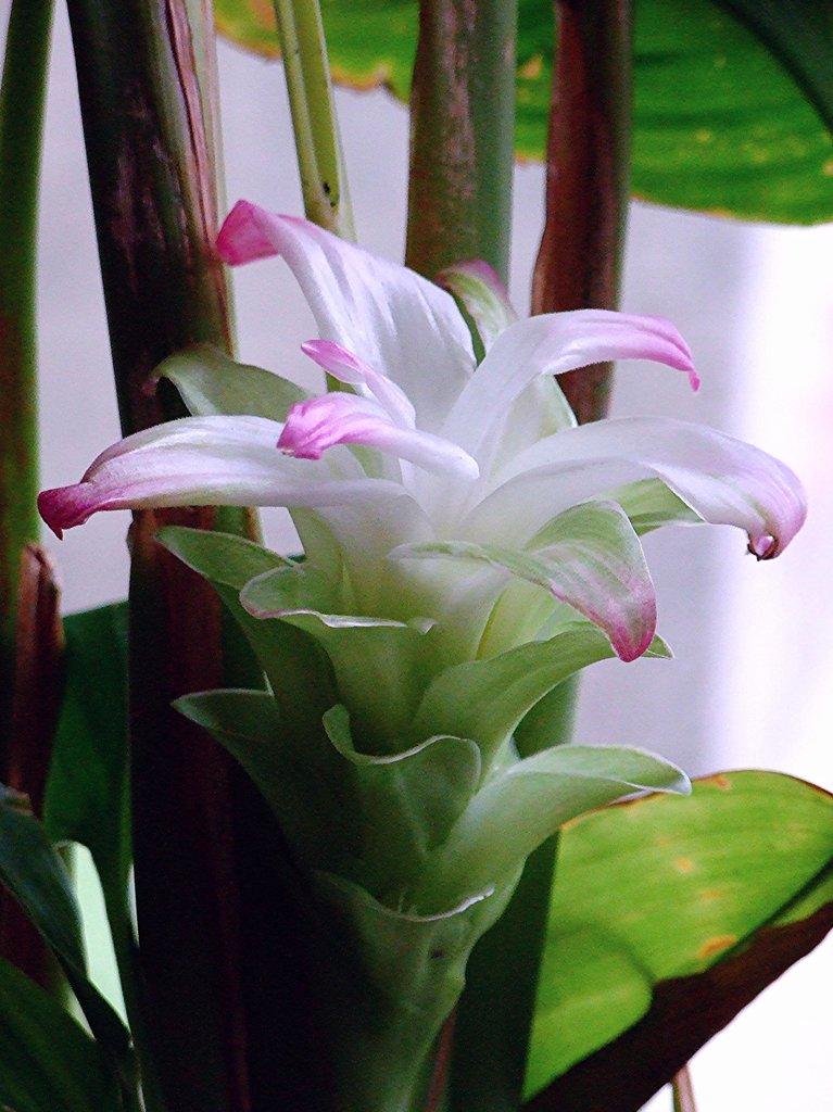 Curcuma : planter et cultiver – Ooreka
