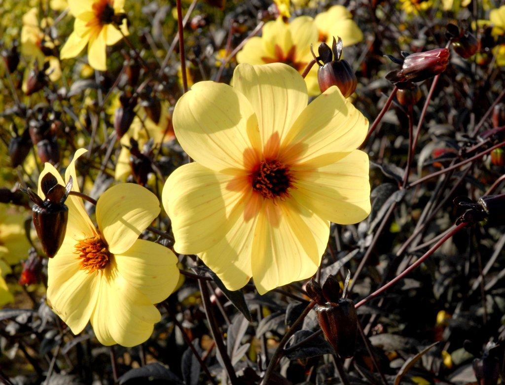 Dahlia : planter et cultiver - Ooreka