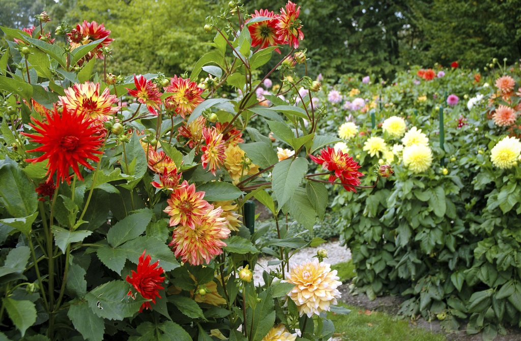 dahlia : planter et cultiver – ooreka