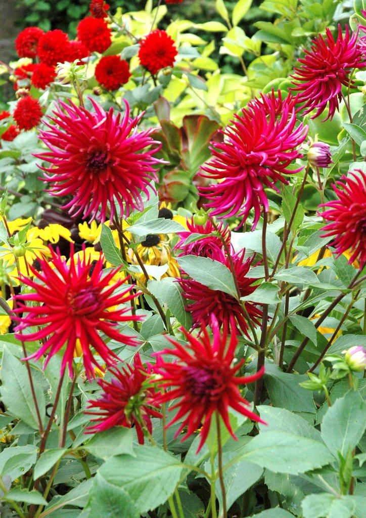 Dahlia planter et cultiver ooreka for Plante 60 80