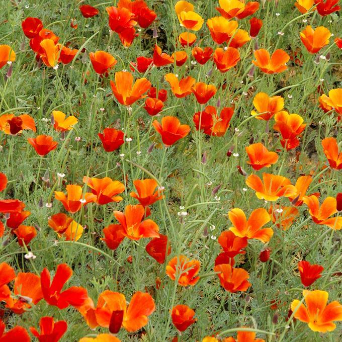 Eschscholzia californica 'Red Chief'