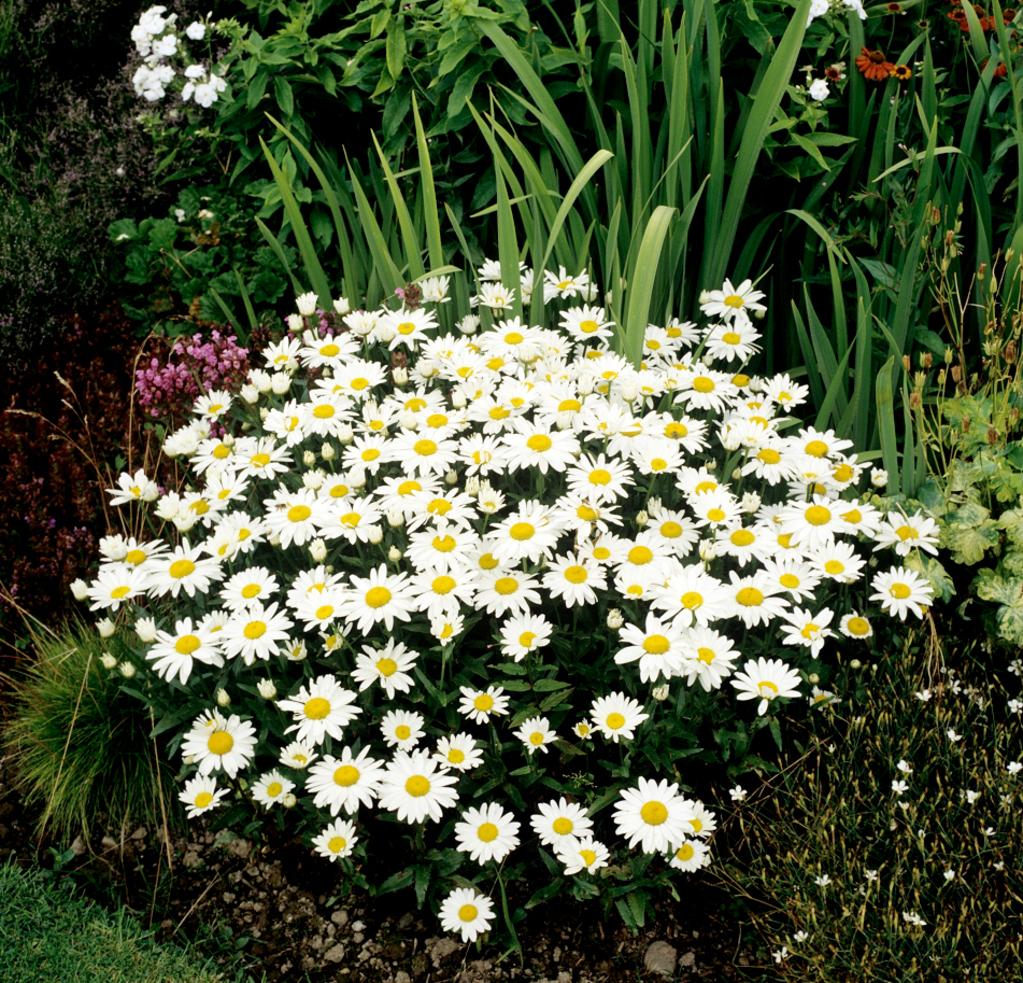 Marguerite planter et cultiver ooreka for Type de plante