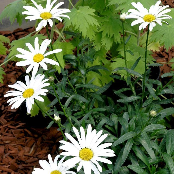 Marguerites d'été Grande marguerite (Leucanthemum x superbum)