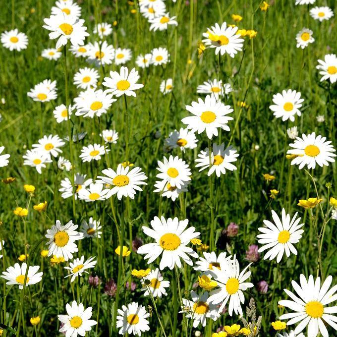Marguerites de printemps 'Reine de mai'