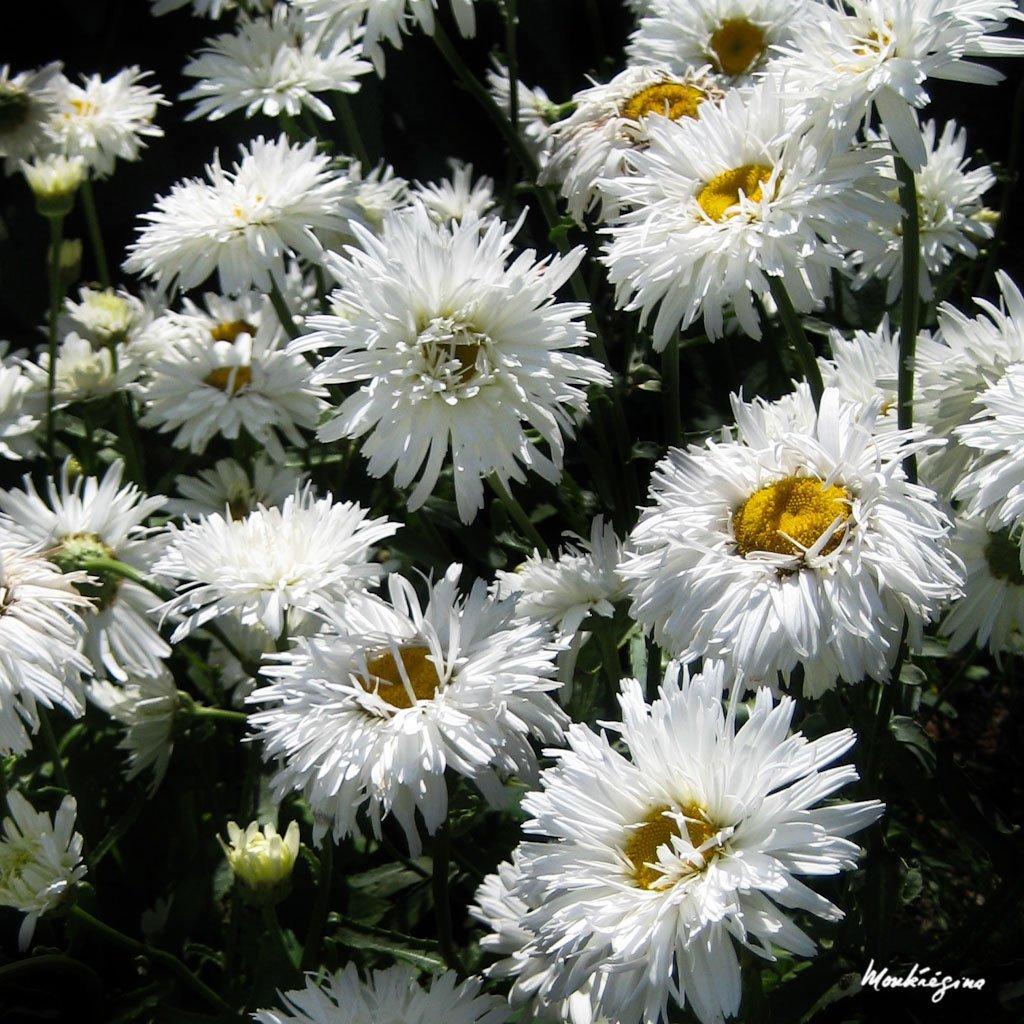 Marguerites d'été 'Aglaia'