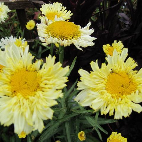 Marguerites d'été 'Broadway Lights'