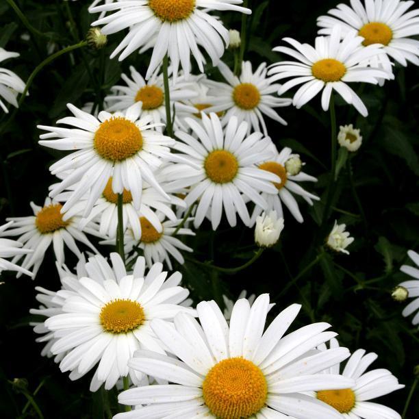 Marguerites de printemps Marguerite commune (Leucanthemum vulgare)