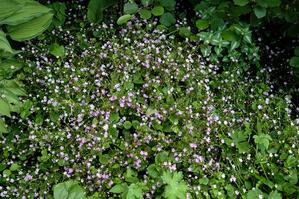 Semis et plantation de Montia sibirica