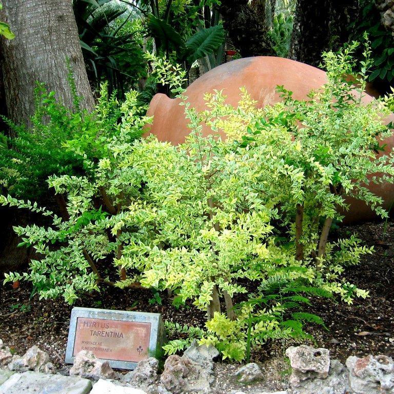 Myrtus communis ssp. tarentina Myrte de Tarente