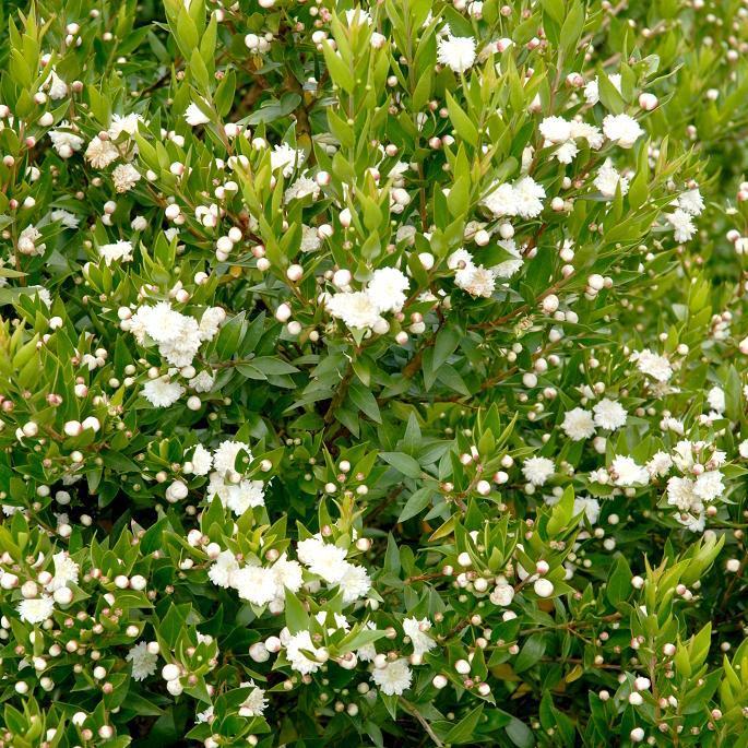 Myrtus communis 'Flore Pleno'