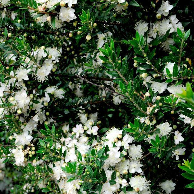 Myrtus communis Myrte commun