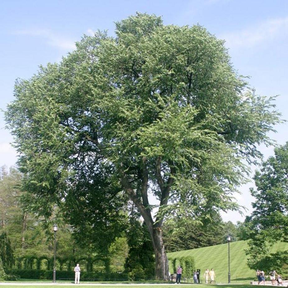 Ulmus americana Espèce type