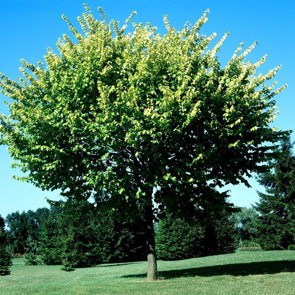Hybrides résistant à la graphiose Ulmus RESISTA® 'Sapporo Gold n°2'