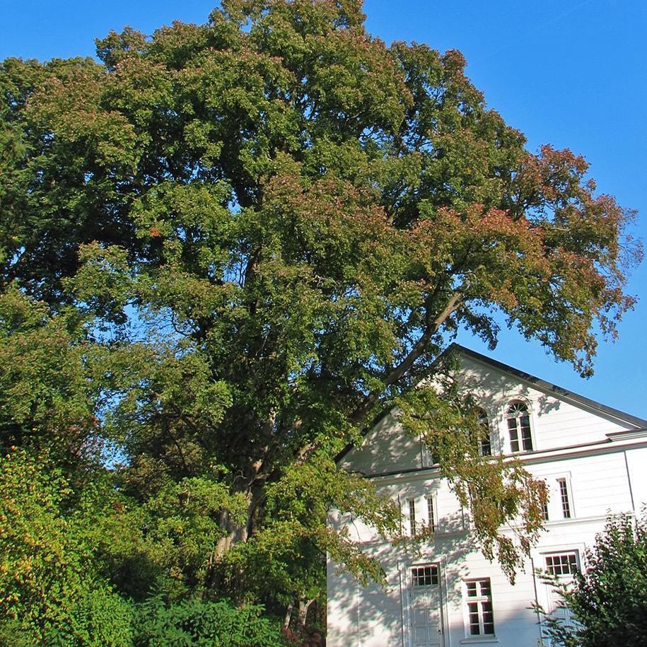 Petit orme (Ulmus minor, syn. U. carpinifolia) Espèce type