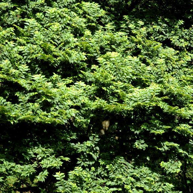Petit orme (Ulmus minor, syn. U. carpinifolia) 'Jacqueline Hillier' (syn. U. x hollandica 'Jacqueline Hillier')
