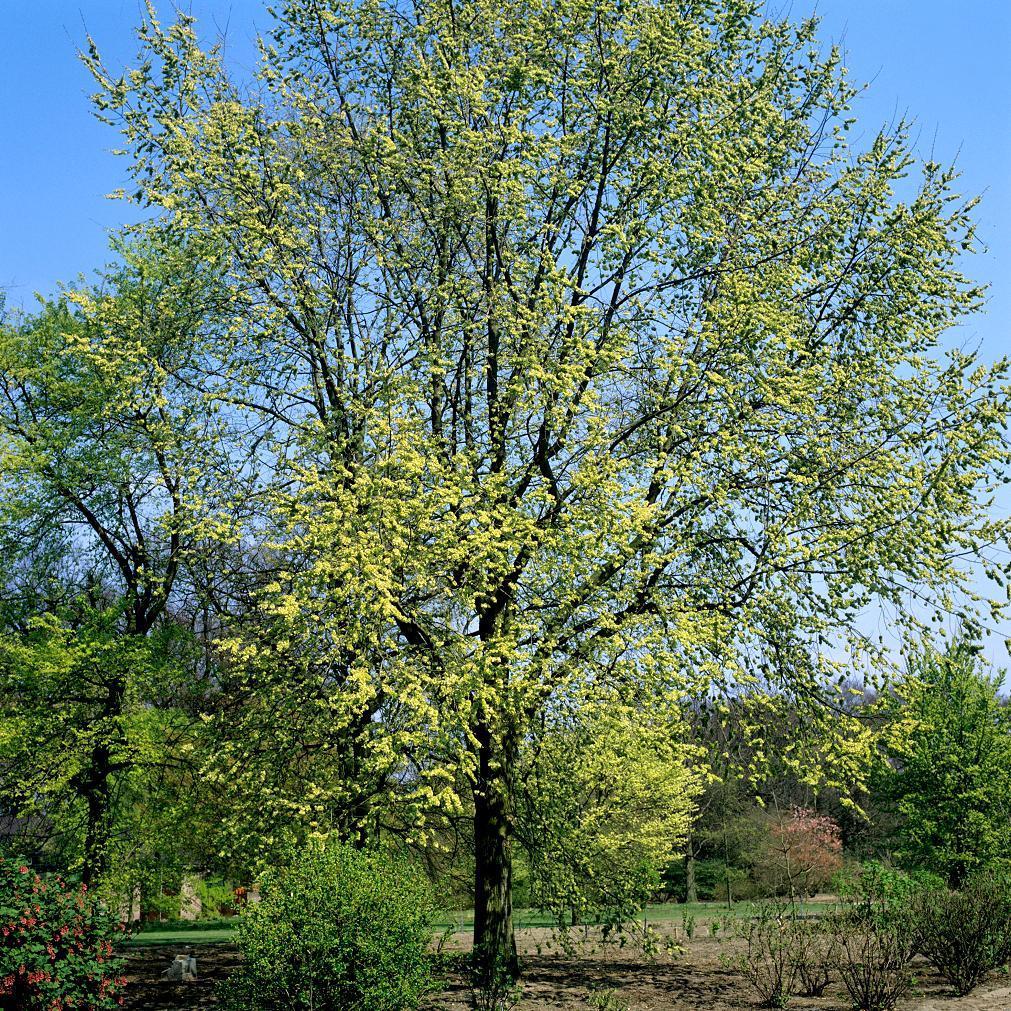Orme de Chine (Ulmus parvifolia) Espèce type