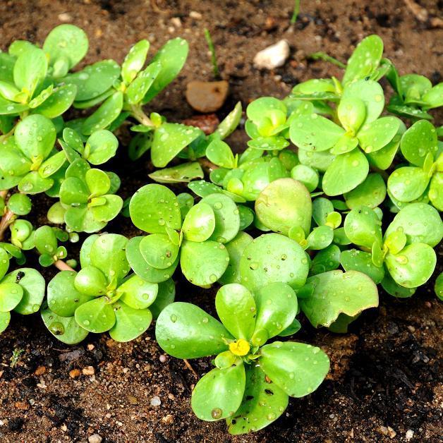 Portulaca oleracea 'Doré à larges feuilles'