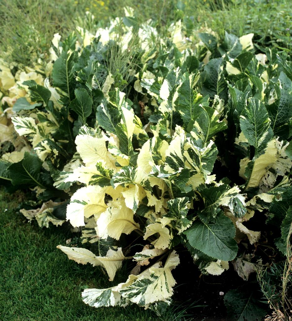 ou planter raifort