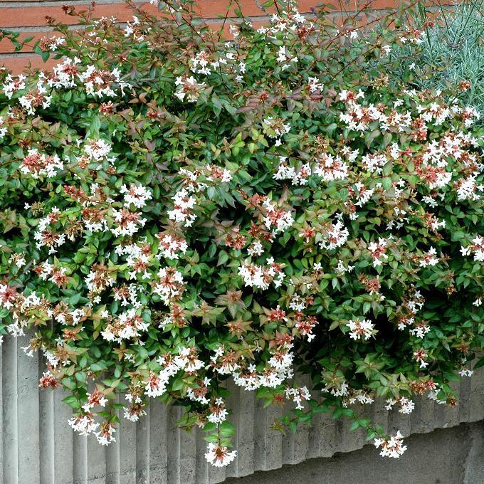 Abelia x grandiflora Espèce type