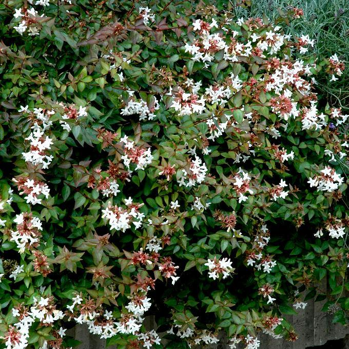 Abelia x grandiflora 'Prostata'