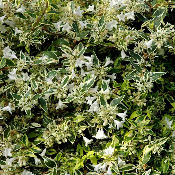 Abelia x grandiflora 'Hopleys'