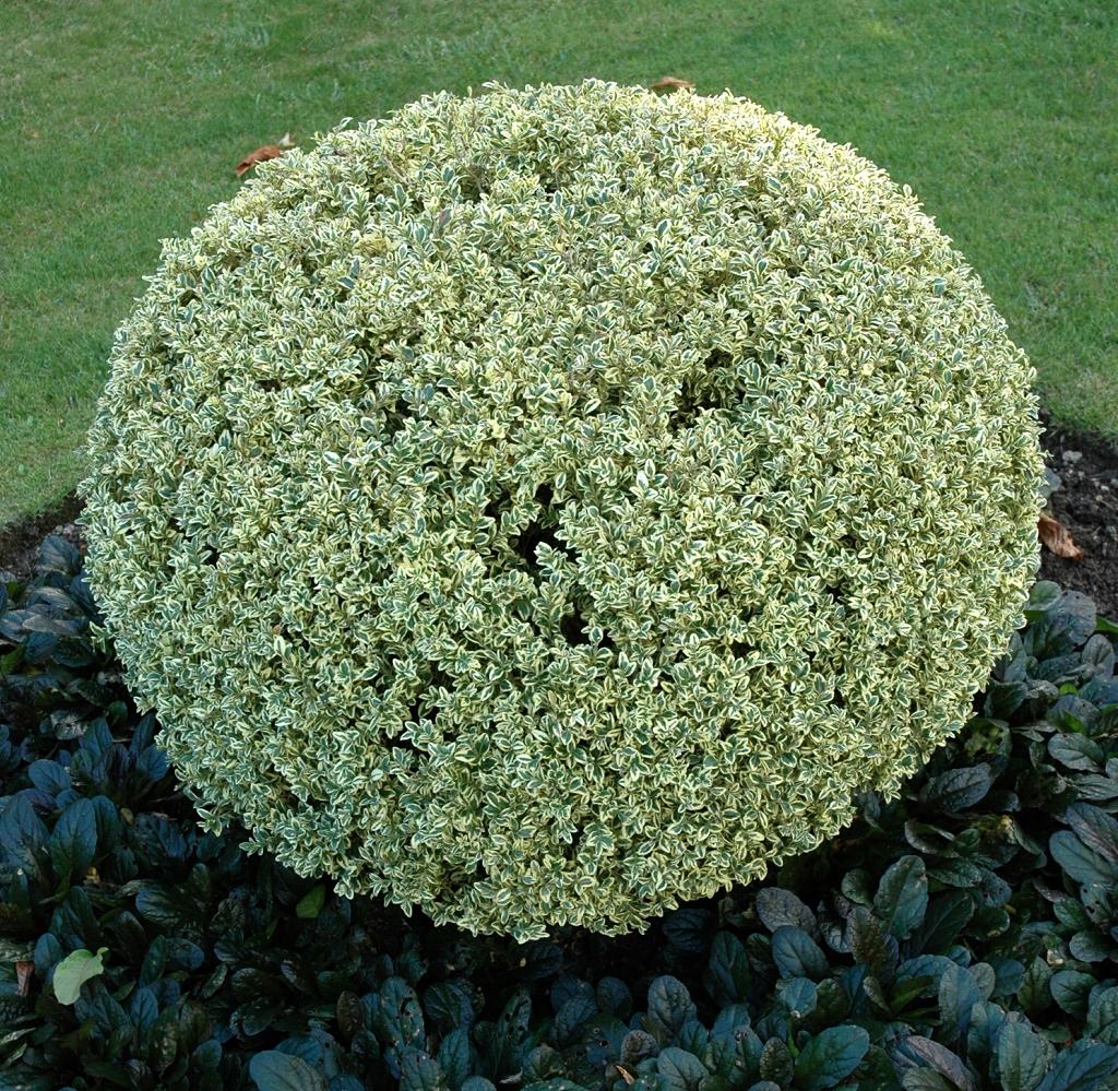 Buis planter et tailler ooreka - Plante resistant au gel ...