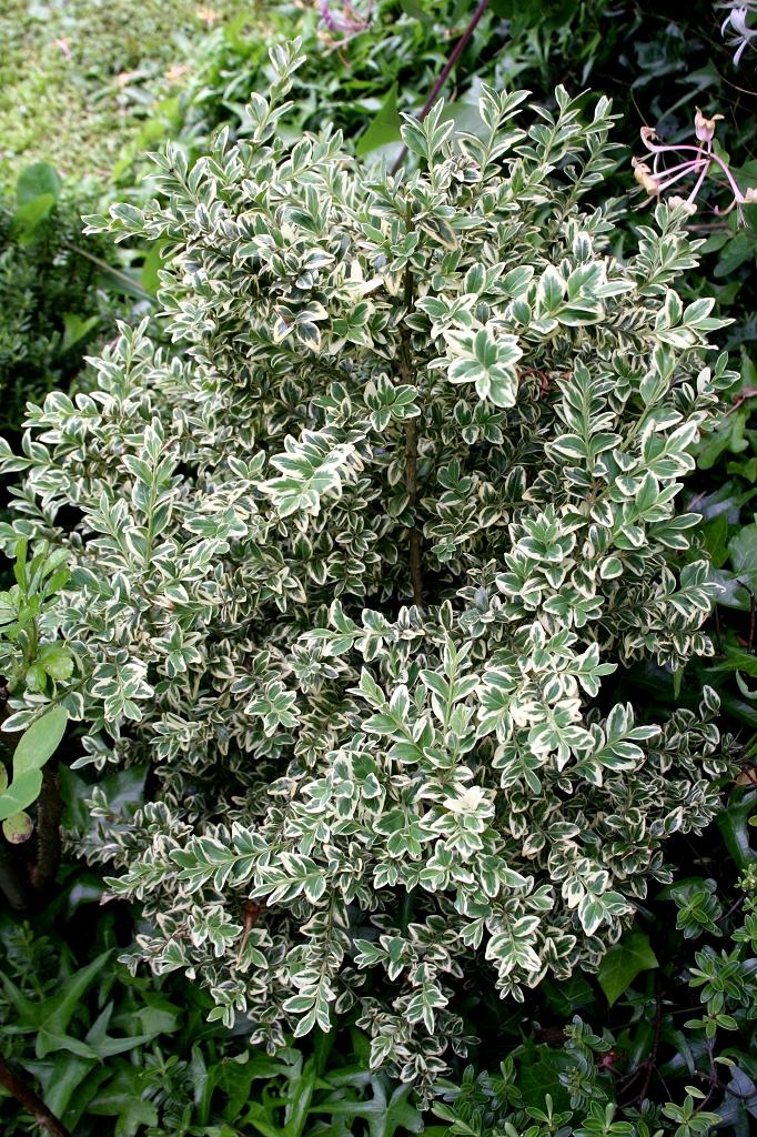 Buis planter et tailler ooreka for Plante 4 images 1 mot