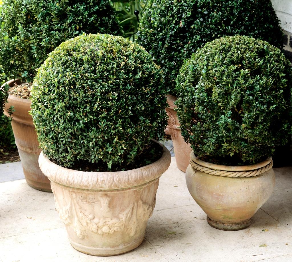 Buis planter et tailler ooreka for Fausse boule de buis