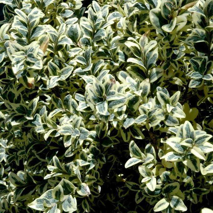 Variétés naines pour bordures Buis panaché (Buxus sempervirens 'Elegantissima')